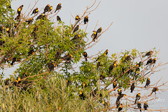 August 18, 2018 - Bunches of Yellow-headed Blackbirds in Longmont. (Tony's Takes)