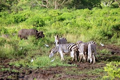 Hluhluwe Park (-LoraN-) Tags: hluhluwe parc zebre buffle safari nature afrique afriquedusud africa couleur canon canon600d