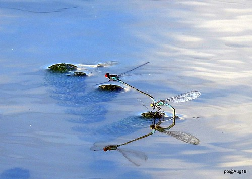 Red Eye Reflections. Red-eyed Damselfly Erythromma najas