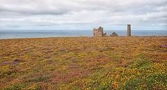 The Tin Mine (craigdwilkinson) Tags: whealcoates nationaltrust cornwall tinmine gorse heather flowers