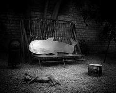 dog and dolphin (Pomo photos) Tags: dolphin dog pet animal street bench road stones wall bars outdoor backyard city urban surreal fun log sleep blackandwhite blackwhite lost sleeping alone monochrome mono mood littledoglaughednoiret lumix20mm