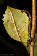 Cryptic katydid (Tettigoniidae) (edward.evans) Tags: insect macro katydid cricket bushcricket tettigoniidae orthoptera cryptic camouflage animal rainforest wildlife nature cloudforest monteverde puntarenasprovince costarica centralamerica latinamerica