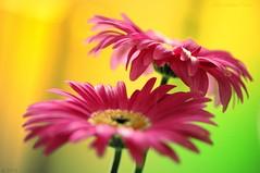 Gerbera (ironmember) Tags: gerbera gerbere fiore fiori vasodifiori ininterni incasa luceambiente noflash nophotoshop nodenoise nikond90 85mm 85mmmicronikkor micronikkor 85mmedifvrii micronikkor85mmedifvrii manolibera sfondosfocato concapturenx2 consoftwarenikon experience nikonexperience d90unaspannasopra macro acceso vaso