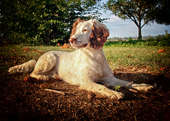 Rupert at 2yrs 3months old (Missy Jussy) Tags: rupert rupertbear mansbestfriend malespringerspaniel englishspringer springerspaniel spaniel grass lawn trees sky stick sunlight naturallight portrait dogportrait animal animalportrait dog pet 5d canon5dmarkll canon5d canoneos5dmarkii canon sunshine light shadows france ef24mmf28 24mm primelens prime fixedfocallength clydesfriendsonlyfordogs