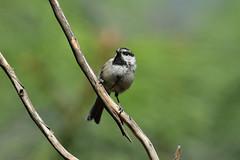 Mountain Chickadee (8252) (Bob Walker (NM)) Tags: bird perching twig moch mountainchickadee poecilegambeli chickadee losalamos newmexico usa