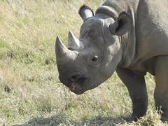 Black Rhino (Simply Sharon !) Tags: blackrhino rhino rhinoceros savetherhino animal yorkshirewildlifepark