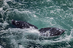 DSC_2478 ~ Rocky Creek State Scenic Viewpoint OR Whale Tale (stephanie.ovdiyenko) Tags: rockycreekstatescenicviewpoint oregon oregoncoast pacificcoast pacificocean pacificnorthwest ocean rockyshoreline rocks graywhale mammal marinelife whale