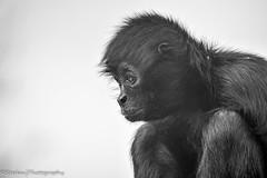 Spider Monkey (stedanphotography) Tags: monkey primate monochrome nature animal animalkingdom blackandwhite