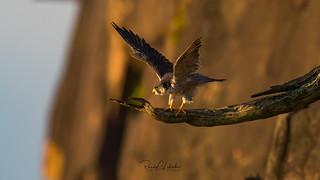 Peregrine Falcon - Falco peregrinus | 2018 - 18