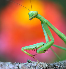 Radiating (Explored) (dianne_stankiewicz) Tags: insect nature wildlife mantis prayingmantis lantana radiating flower bokeh