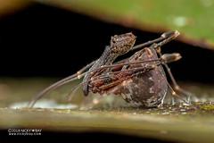 Assassin spider / Pelican spider (Eriauchenius sp.) - DSC_2701 (nickybay) Tags: africa madagascar macro andasibe voimma assassin spider pelican archaeidae eriauchenius