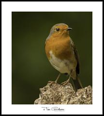 My little friend Robin. (timgoodacre) Tags: bird birds birdportrait birdlife wildbird wildlife wildanimal wild outside wildfowl nature ngc robin robinredbreast tree treestump wood