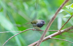 Black-faced Grassquit (mak_9000) Tags: