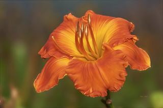 Orange Daylily known as Lana Ishee