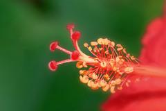 Macro Mondays- Multicolor.  Red, Yellow, Green (Peeb is OK) Tags: macromondays multicolor multicolors flower macro closeup nature nikon tokina nikkor nikor
