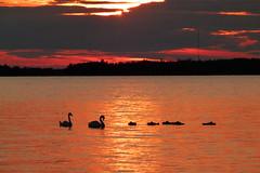 Good night, sleep well (evisdotter) Tags: sunset sunsetlight evening reflections swans svanar cygnets sleeping silhouettes siluetter birds fåglar seascape nature sooc coth5