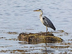 Largs Heron3 (g crawford) Tags: ayrshire northayrshirecrawford crawford bird birds heron greyheron commongreyheron largs clyde riverclyde firthofclyde