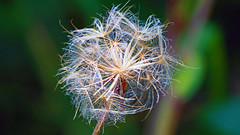 Flower, Western Waterfront Trail - Duluth MN, 08/22/18 (TonyM1956) Tags: elements sonyalphadslr sonyphotographing macrounlimited tonymitchell