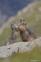 Marmotons (Lumières Alpines) Tags: didier bonfils goodson73 marmottes lautaret faune alpes france lumieres alpine europa outside