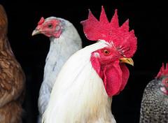 Punk's not dead! (Engin Süzen) Tags: poultry cock chicken village animal animals olympus olympusem1markii olympusomdem1markii m43 m43turkiye