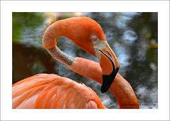 Flamingo Necker (prendergasttony) Tags: nikon d7200 ruff featherboa florida longneck pink