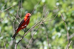 Scarlet Tanger (johnsopa@sbcglobal.net) Tags: forest nature tanger red bird