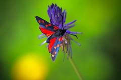 Colours of Nature (sylviafurrer) Tags: grün rot blau schmetterling butterfly zygaenidae widderchen sechsfleckwidderchen insect nature natur