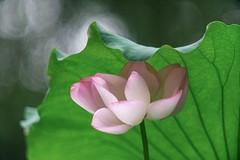_DSC9596 (kymarto) Tags: bokeh bokehlicious bokehphotography dof depthoffield flowers flowerphotography nature naturephotography beauty beautiful sony sonyphotography sonya7r2 oldlens vintagelens dallmeyersupersixanastigmat china lotus summerpalace