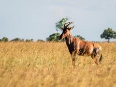 Evening light.Damalisque ( Tsetsebe) full if tsezses. -(Frim that the name?) (odileva) Tags: damalisque antelopes june kenia masaimaranp nature transmara riftvalleyprovince kenya ke