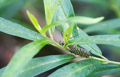 Monarch Caterpillar on Swamp Milkweed (Craig S Thom) Tags: kentucky louisville butterfly caterpillar milkweed monarch