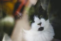 Muffin (Olizwell) Tags: muffin cat blackandwhite window glare faded greeneyes squint