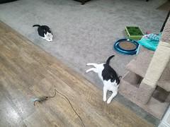 20180807_072433 (sobca) Tags: cat kottur kitte eesa miu kat pussi kato chat katze popoki gatto chatool billi felis cattus gato katt meo кошка बिल्ली 猫 γάτα vighro ᏪᏌחתול