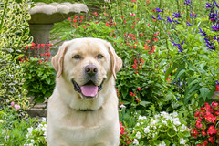 Happy Boy (lablue100) Tags: happy lab labrador retriever labradorretriever yellowlab animals dogs flowers nature love buddy landscapes floral bestfriend