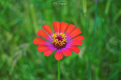 Zinnia elegans (Veitinger) Tags: flower blume wiese meadow natur nature bunt colorful farben colors farbe color pentacon manuell bokeh veitinger sony ngc
