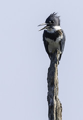 Belted Kingfisher (Joseph M. Campbell) Tags: bombayhooknwr naturedelaware wildlife