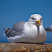 Seagull sitting on a wall