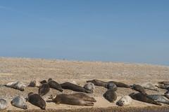 2018_Norfolk_BlakeneyPoint_Seals_4 (atkiteach) Tags: norfolk uk england blakeney blakeneypoint seal seals water sea seaside northsea