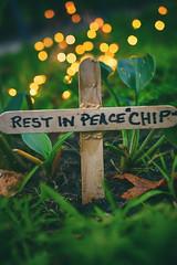 RIP Chippy - 2018-2018 (flashfix) Tags: august272018 2018inphotos flashfix flashfixphotography ottawa ontario canada nikond7100 40mm rodent chipmunk green bokeh lights cross tribute ripchippy