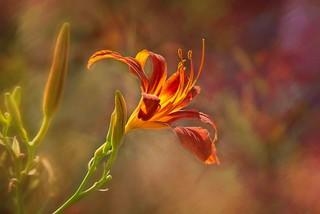 Paprika Flame Daylily