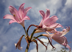 Last blooms of summer (sdmvqedd30) Tags: lilies pink sky clouds withering blooms sunshine canon flowers garden petals