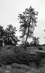 Lone tree in B&W  #1 (J.R. Rondeau) Tags: rondeau yellowknife nt bw trees photowalk canoneos tamron2875 photoshopelements10 blackwhite