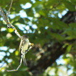 Eastern Phoebe, Timbers Nature Preserve, August 28, 2018 thumbnail