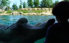 Close encounter of the Pol;ar Bear kind (1) (bertknot) Tags: blijdorp blijdorprotterdam blijdorpzoo dutchzoo dierentuin blijdorpdierentuin ijsbeer polarbear