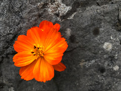 in my neighbour's garden (Rosmarie Voegtli) Tags: flower orange dornach wall stone grey hiking
