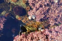 Anemone light distortion (Celeste33) Tags: basspoint australia rockpool waratahanemone