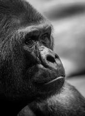 trauriger Blick (maik_sen) Tags: gorilla ape affe zoo tierpark schwarzweis blackwhite black white tier animal natur nature monochrom monochrome sad traurig face gesicht porträt portrait tierfotografie tierporträt animalportrait