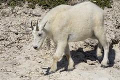 Mountain Goat (Edmonton Ken) Tags: mountain goat oreamnos americanus clay mineral lick wild free jasper mammal animal horn fur white cream hoof bovidae artiodactyla wool travel landscape