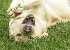 Silly Boy (lablue100) Tags: dogs pets animals lab labrador labradorretreiver retriever yellowlab ball grass action colors happy fun playing eyes love