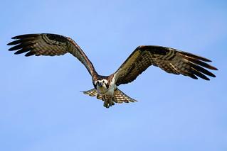 Osprey - Flight