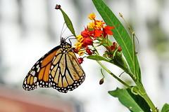 ...the pollinator (Jim Atkins Sr) Tags: monarch monarchbutterfly danausplexippus butterfly milkweed commontiger wanderer asclepiascurassavica marykistlerstoneygarden northcarolina newbern flower sony sonyphotographing sonya58